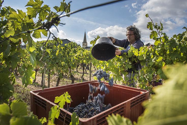 Xavier Amirault-vigneron bio-saint-nicolas-de-bourgueil-cabernet-franc-bio biodynamie